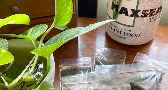 How to use Maxsea fertilizer for carnivorous plants