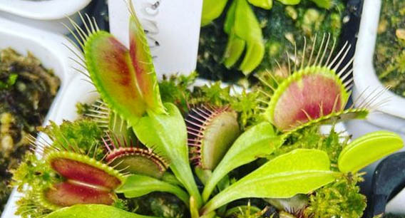 Venus flytrap guide (part 1)