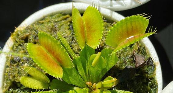 Venus flytrap guide (part 2)